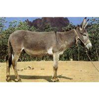 山东肉驴养殖、万隆牧业(图)、肉驴养殖前景