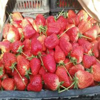 章姬草莓苗哪里有卖 泰山大地果树园艺场常年培育各种草莓苗