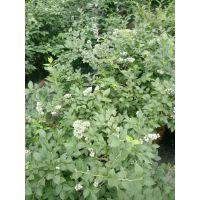 适合北方种植的蓝莓苗品种有哪些 泰安正家园艺场告诉你15698130488