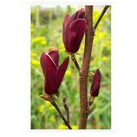 供应大乔木种子:紫玉兰种子,玉兰种子,重阳木种子等