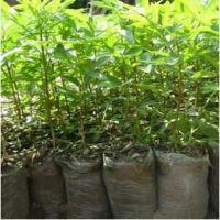 大红袍九叶青花椒苗品种齐全两年生无刺花椒苗基地专业种植保成活