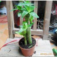 出售小型盆栽花卉 菊花竹 办公室摆放佳品