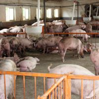 放心猪 生态养殖生猪 三元猪 绿色健康食品