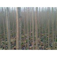 5至8公分杨树苗价格 哪里能买到超值的5-8公分杨树苗