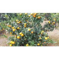 云南种植沃柑的多吗 哪里有基地可以参观
