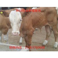 哪里有改良肉牛犊养殖基地-山东改良肉牛犊价格