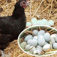 贵州特产 农产品土鸡蛋  夜郎古国绿壳蛋 营养价值丰富 味美