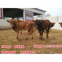 四川哪里有鲁西黄牛养殖场-200斤育肥鲁西黄牛犊价格