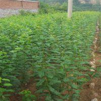 供应优质水果树苗 蜂糖李子苗 早熟李子苗 李子苗新品种