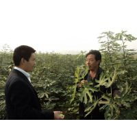青皮无花果苗多少钱一棵?泰安润佳农业大量供应优质青皮等品种无花果苗