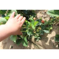 巢湖奶油草莓苗,龙鑫苗木,奶油草莓苗直销