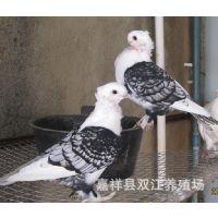 成年抱窝的淑女鸽,青年淑女观赏鸽