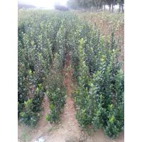 低价优质冬青苗直销,优质冬青树苗低价供应,65公分高优质冬青苗批发价格