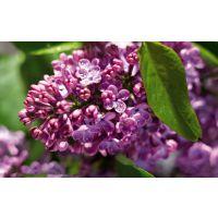 自产自销 供应紫丁香 紫丁香树苗 规格齐全 庭院小区公园绿化 树形正