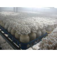 蘑菇保鲜冷库保鲜贮藏方法、蔬菜保鲜冷库工程设计找开冉制冷