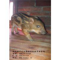 供应优质野猪养殖种苗