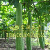 彩包袋装丝瓜种子 蔬菜种子 发芽率高 丝瓜种子批发 量大优惠