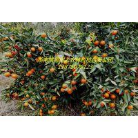 湖南世纪红柑橘苗全年供应 各类柑橘苗300万株基地直供全国各地