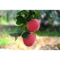 ?陕西自然林现摘现卖新鲜红富士苹果香甜可口