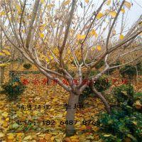 宿心园艺场销售樱花 大量供应 11 12公分左右樱花树