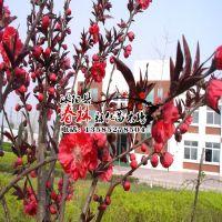 供应 绿化苗木 花卉风景树 红叶桃 紫叶碧桃 园林绿化植物