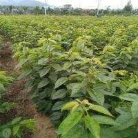 布鲁克斯樱桃苗高产 成活率高 抗虫害 泰山大地果树园艺场
