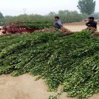 北海道黄杨 绿篱用北海道黄杨 出售1.5米北海道黄杨