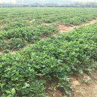 哪里卖法兰地草莓苗 多少钱一棵 山东法兰地草莓苗批发基地