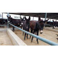 纯种肉驴养殖场出售