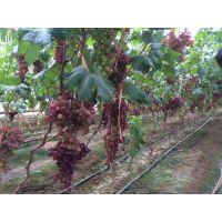 现货供应葡萄苗 克伦生葡萄树苗包成活 量大从优