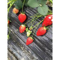 法兰地草莓苗哪里有 法兰地草莓苗多少钱一株