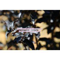 紫叶紫薇在苗木市场的未来走势