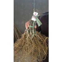 大量供应周至猕猴桃基地嫁接成品猕猴桃苗实生猕猴桃苗