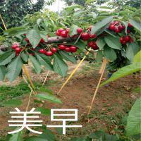 早大果樱桃苗产量高 质量好 自产自销 泰安大地果树园艺场