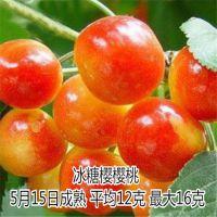 矮化樱桃苗价格 黄灯笼樱桃树苗成熟时间