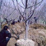 1-6公分核桃树 苹果树 山楂树 柿子树 樱桃树 枣树