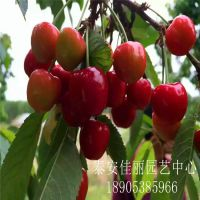 吉塞拉樱桃苗多少钱一棵?泰安佳丽园艺大量供应优质吉塞拉樱桃苗
