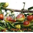 供应优质各规格枣树