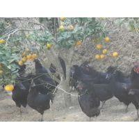 全国大量供应优质绿壳蛋鸡