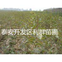山东樱桃实生苗出售 实生樱桃树苗 樱桃实生苗价格 樱桃实生树苗 樱桃实生苗批发