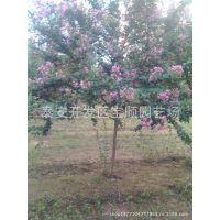 供应行道树 庭院绿化苗 紫薇树苗 百日红紫薇 紫薇价格