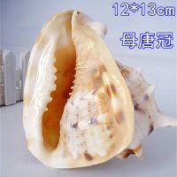 海南三亚 四大名螺 唐冠螺 皇冠螺 海螺贝壳摆件 13厘米左右批发