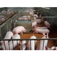 山东仔猪繁育基地供应优良品种三元猪