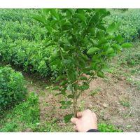 广西哪里有南瓜桔果苗供应