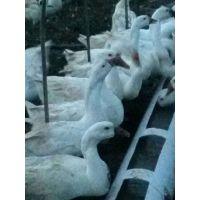 肉鹅回收,肉鹅养殖技术,白鹅孵化基地