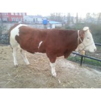 湖北牛犊价格  湖南肉牛价格  湖南有西门塔尔牛吗