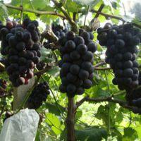 供应陕西大荔优质红提葡萄产地行情价格销售批发种植。13619236190