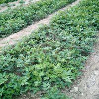 花椒苗一亩地种植多少?什么品种花椒苗好?云南花椒苗