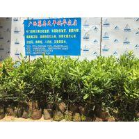 供应澳洲坚果树苗 澳洲坚果种植技术