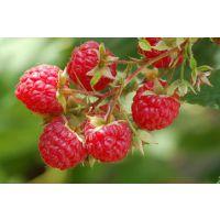 哪里有红树莓 红树莓苗的价格 山东泰安正家园艺场红树莓种植基地